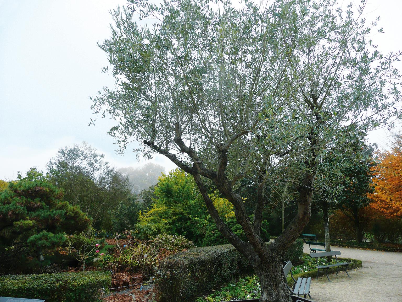 La taille de l'olivier s'avère une science complexe, et il faut plusieurs années pour en intégrer tous les éléments. Un olivier au Jardin botanique de Tours - © N. Dorion