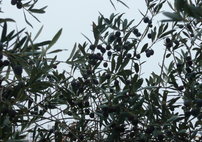 La maturation des olives en automne nécessite une bonne surface foliaire - © N. Dorion