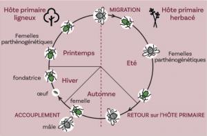 Cycle théorique complet d'un puceron