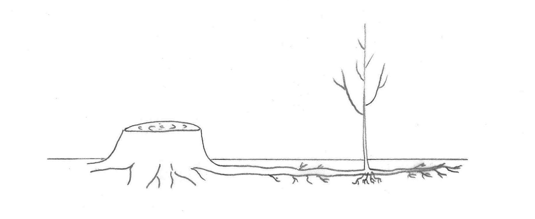 On procédera à un recépage afin de stimuler le développement du système racine de l'arbre ainsi que l'apparition de drageons (le petit arbuste sur la droite) pour maintenir un sol.