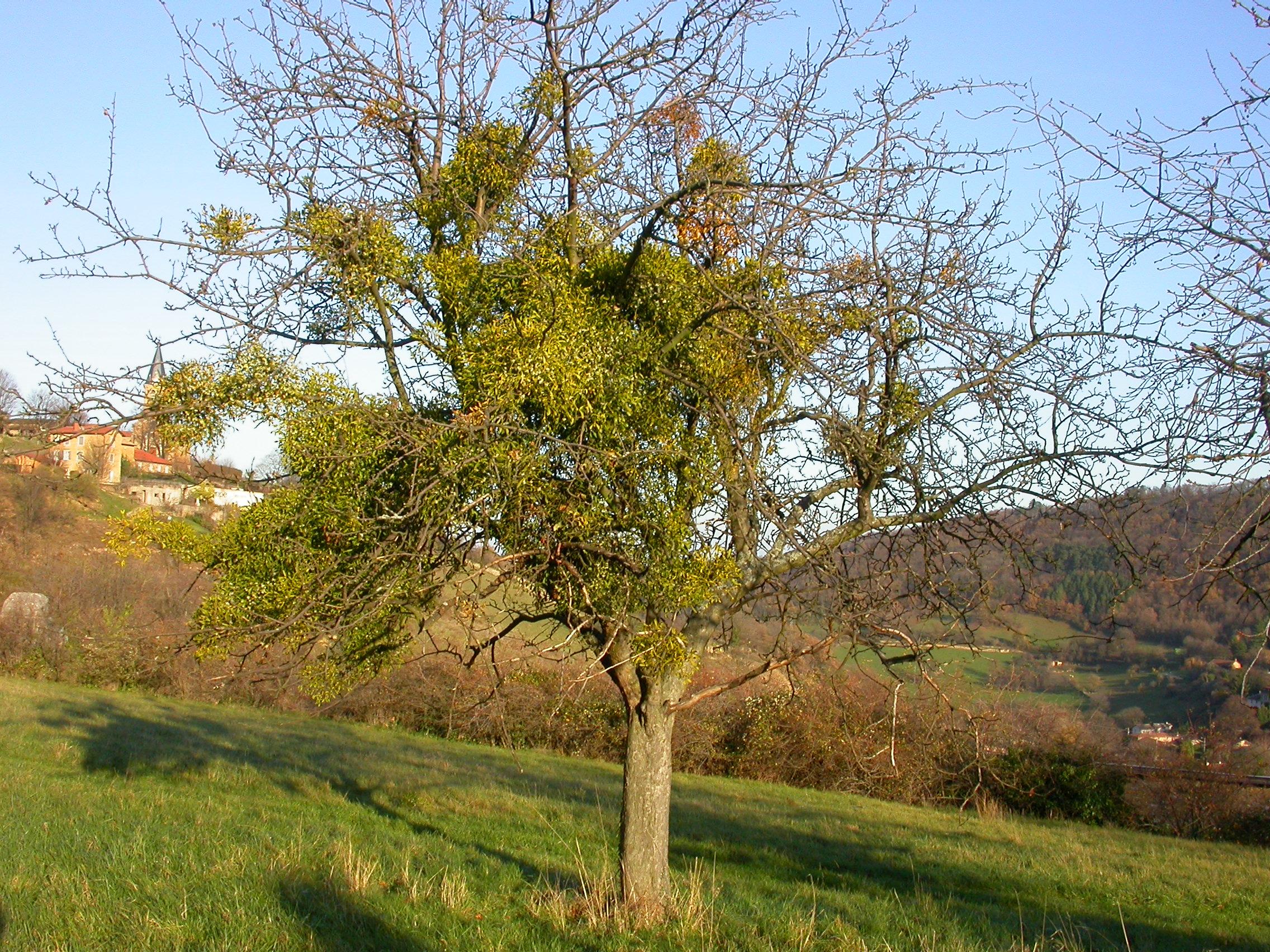Le gui des feuillus est très rare sur chêne. Ici, le chêne de Limonest, labellisé « Arbre remarquable de France » - © Louis Girard