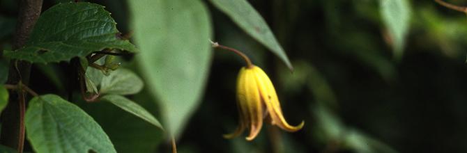 Clematis pogonandra