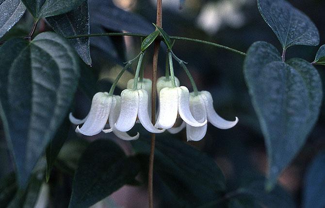 Clematis urophylla