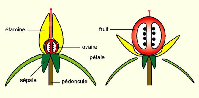 Est Ce Que Les Fleurs D Un Arbre Donnent Toujours Des Fruits
