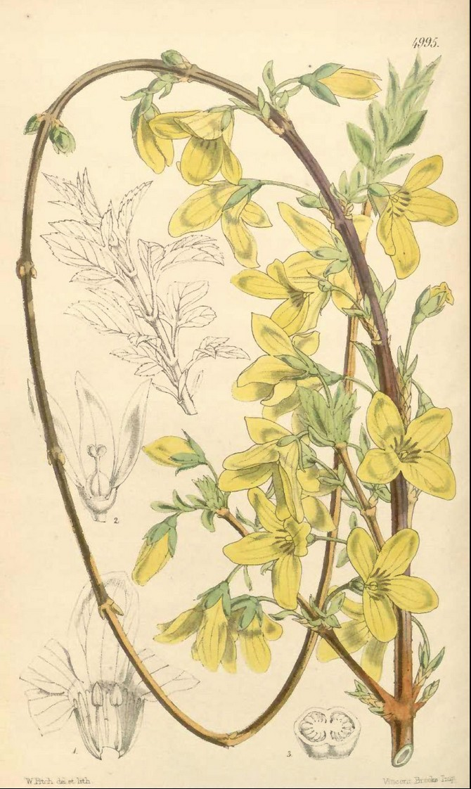 Forsythia suspensa © Botanical Magazine 1857