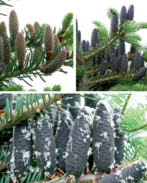 Encyclopedia of conifers