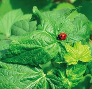 """Coccinelle (Coccinella septempunctata), la """"bête à bon Dieu"""" , est l'amie du jardinier. Elle dévore les pucerons au jardin. - © Gilles Roux"""