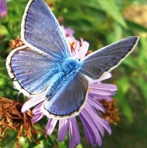 Papillon Azuré sur un aster d'automne. Le mâle se distingue par l'intérieur des ses ailes nettement bleues. Ce papillon fréquente le jardin partagé de l'Aqueduc (Paris 14e) - © Gilles Roux