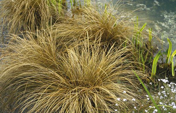 Carex, du panache et du style - Jardins de France