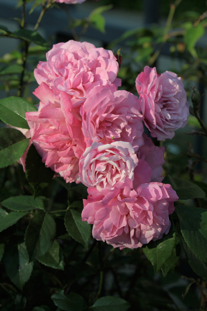 Rosa chinensis 'old blush' - © J.-C. Caissard