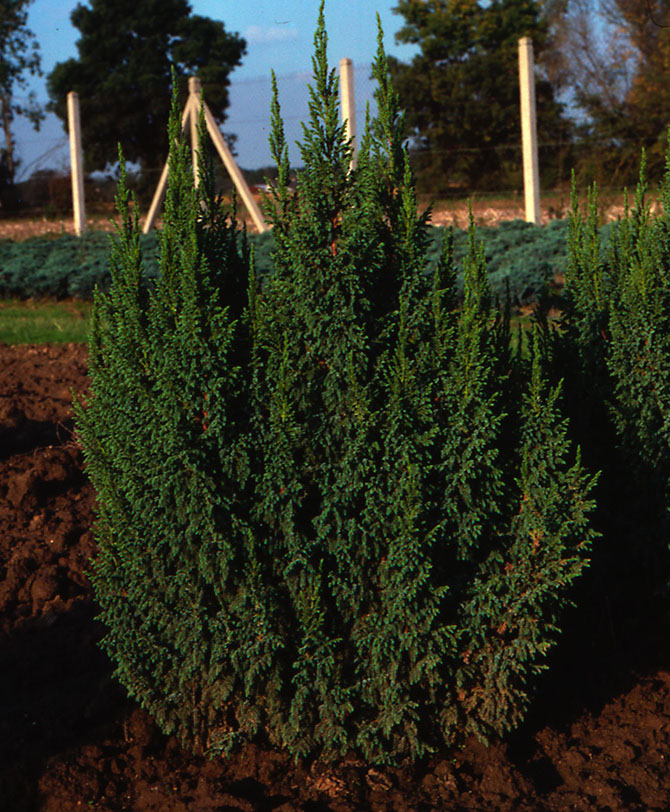 Juniperus squamata 'loderi' - Collection INH