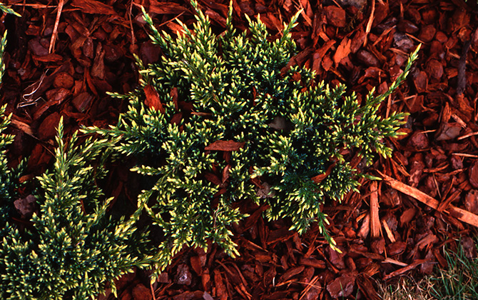 Juniperus squamata 'holger' - Collection INH