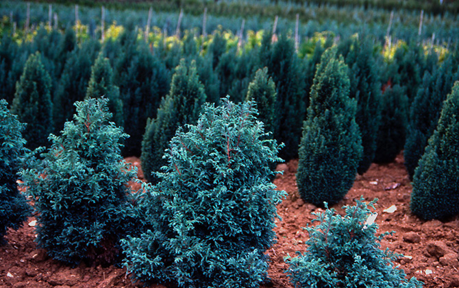 Chamaecyparis pisifera 'boulevard' premier plan - Collection INH