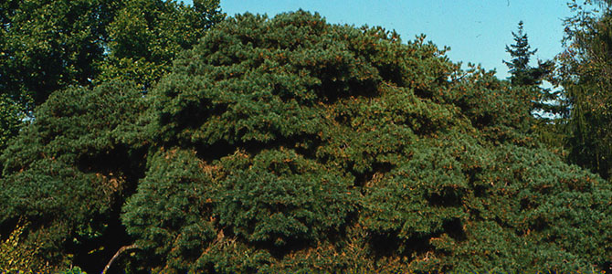 Pinus sylvestris 'repanda' - Collection INH