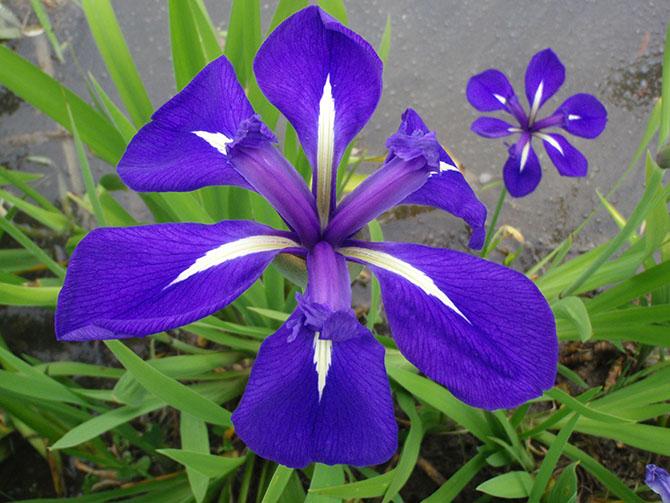 plante aquatique fleur bleue