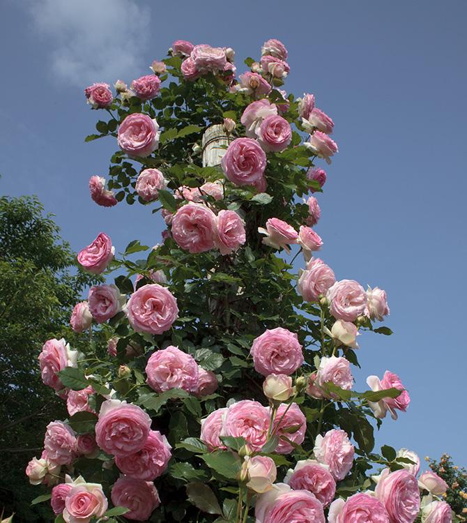 Taille du rosier les conseils d un sp cialiste jardins for Rosier jardin de france